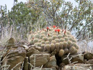 The hope of spring: Claret-cup cactus growing out of hard rock (click to enlarge then hit go back arrow). Photo by Nicida Maerefat.