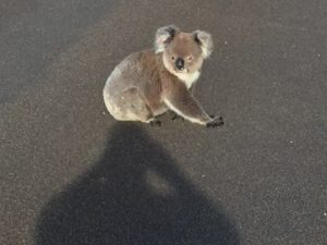 Koala on paved road, unafraid of the photographer. Despite looking so gentle, they can bawl like an old lawnmower – a surprisingly loud grunting and grating noise (click to enlarge then back-arrow to return to article).