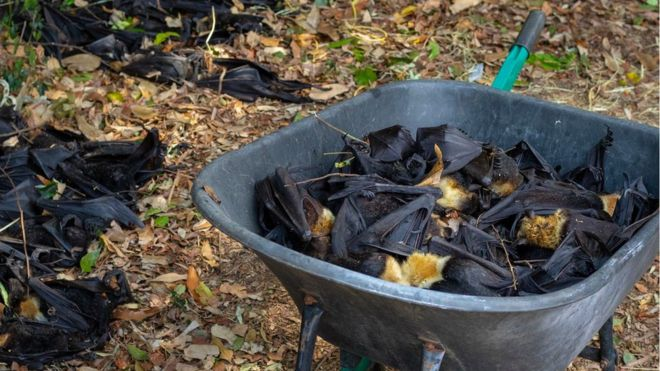 This image has an empty alt attribute; its file name is Flying-foxes_105096007_bats.jpg